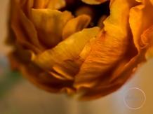 Ranunculus-15