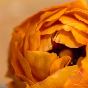 Ranunculus-16