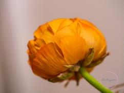 Ranunculus-17