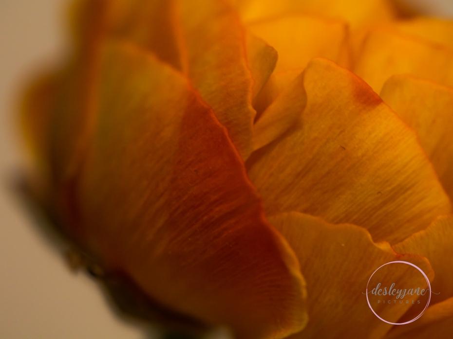 Ranunculus-19