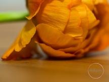 Ranunculus-20
