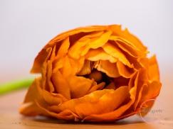 Ranunculus-21