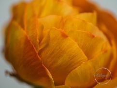 Ranunculus-22