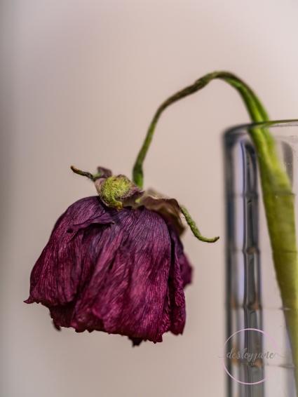 Ranunculus-23