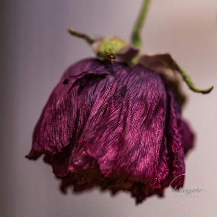 Ranunculus-25