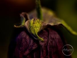 Ranunculus-4