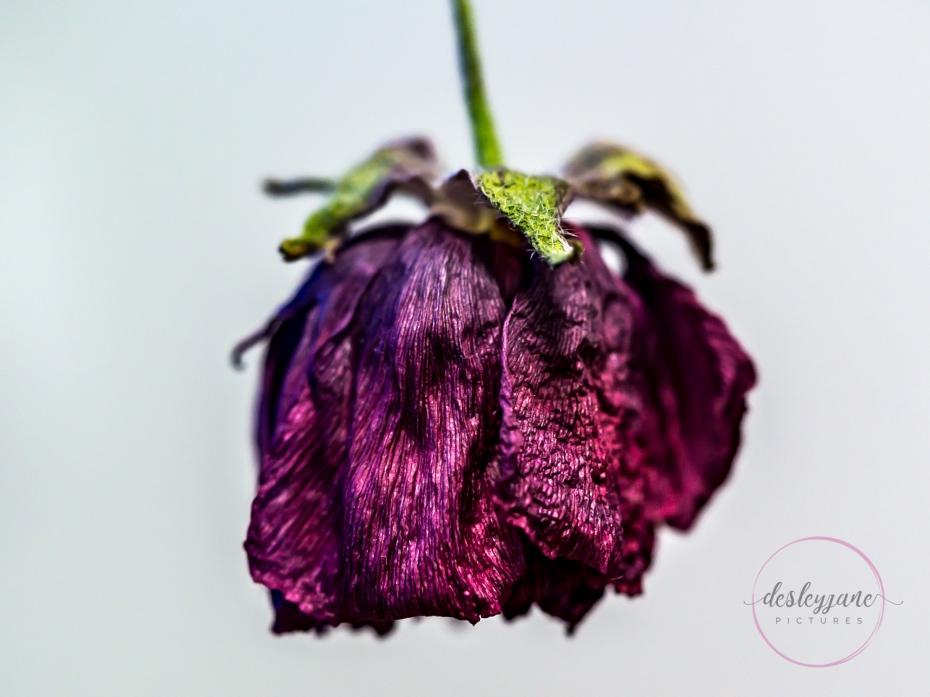 Ranunculus-5