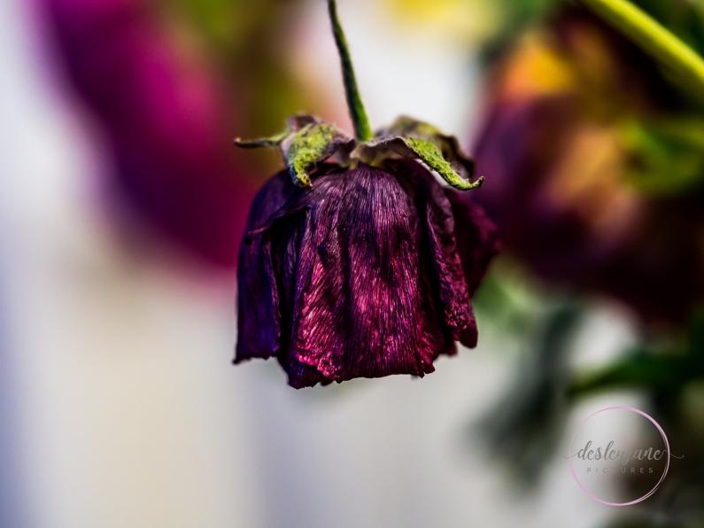 Ranunculus-6
