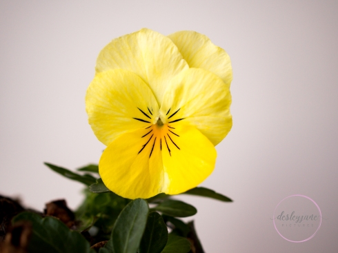 5Minutes_YellowPansy-12