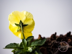 5Minutes_YellowPansy-6