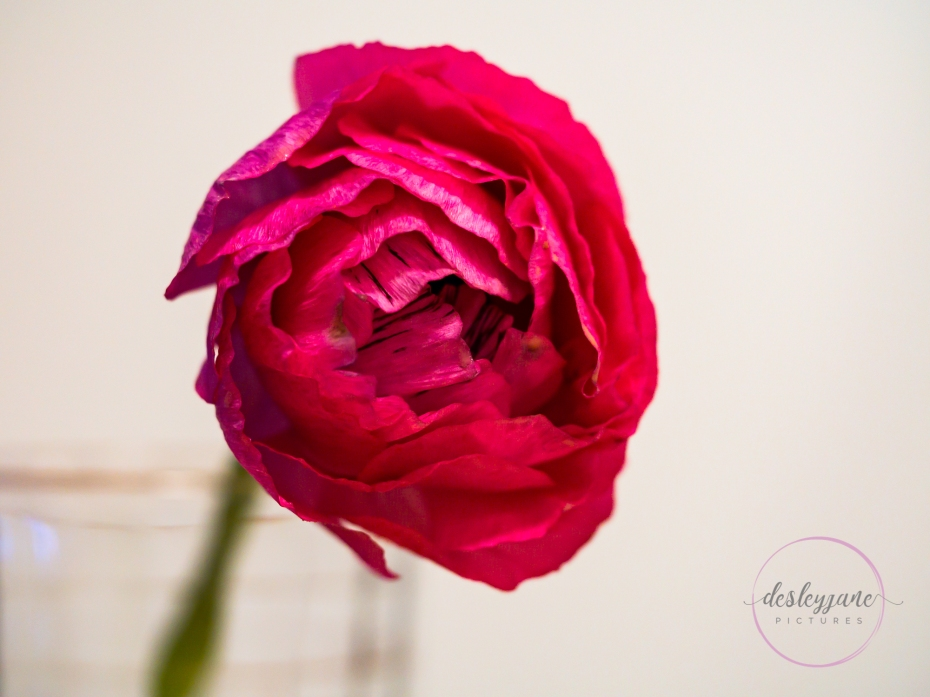 Ranunculus_pink-1