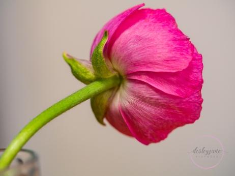 Ranunculus_pink-2