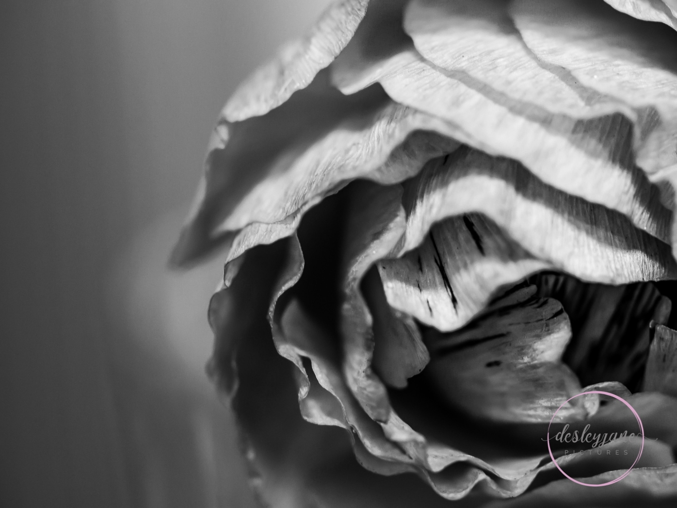Ranunculus_pink-4