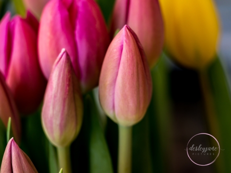 Pink&YellowTulips_closed-3