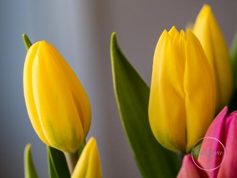 Pink&YellowTulips_closed-5