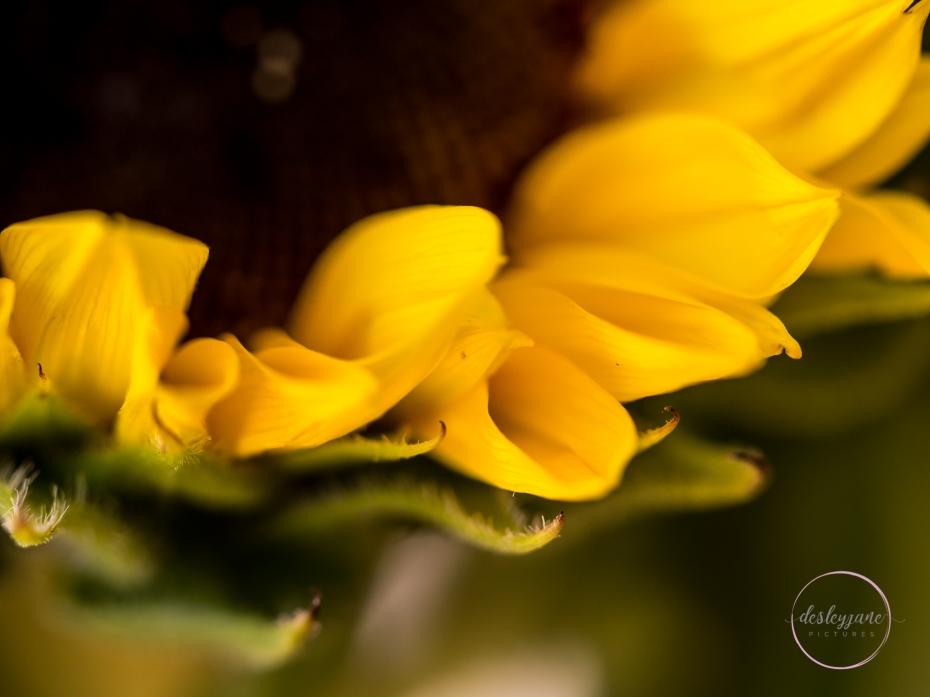 Sunflower Petals