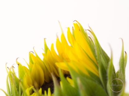 Sunflowers-35