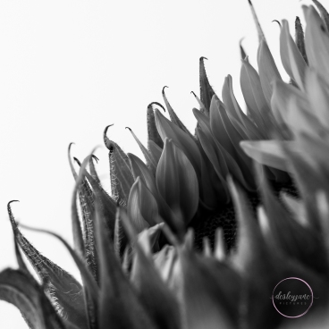 Sunflowers-36