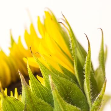 Sunflowers-37