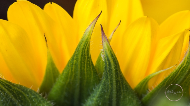 Sunflowers-40