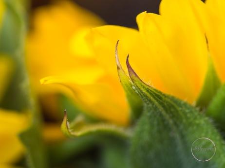 Sunflowers-41