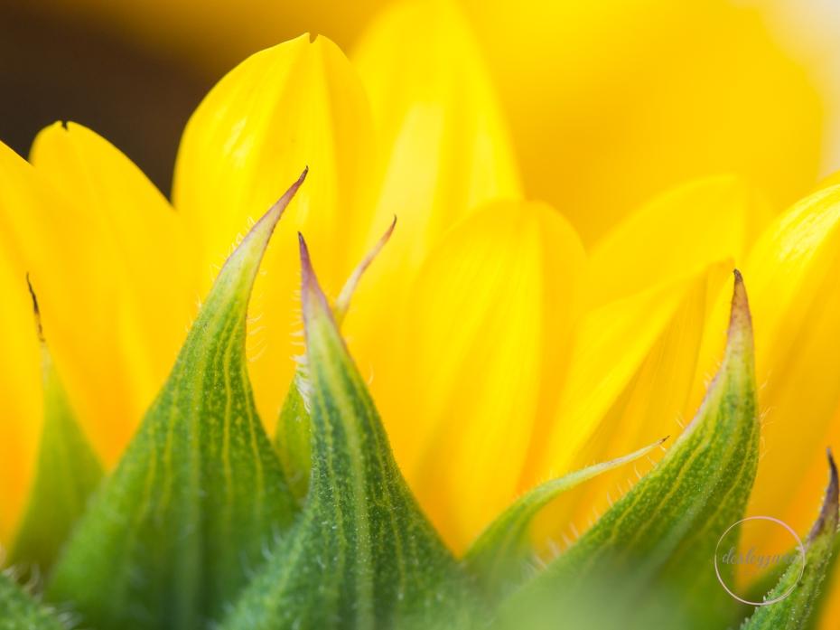 Sunflowers-43