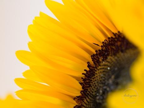 Sunflowers-44