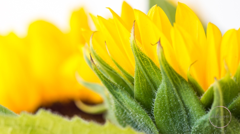 Sunflowers-46