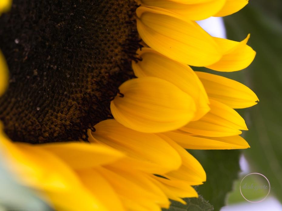 Sunflowers-49