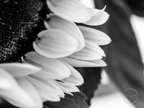 Sunflowers-50