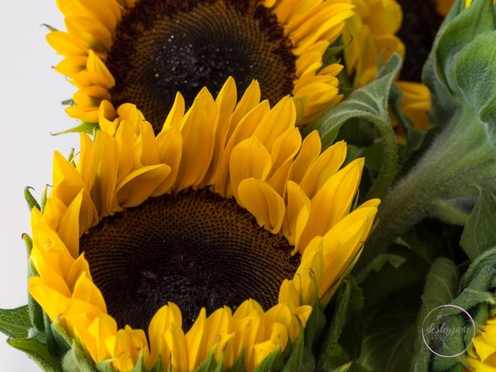 Sunflowers-54