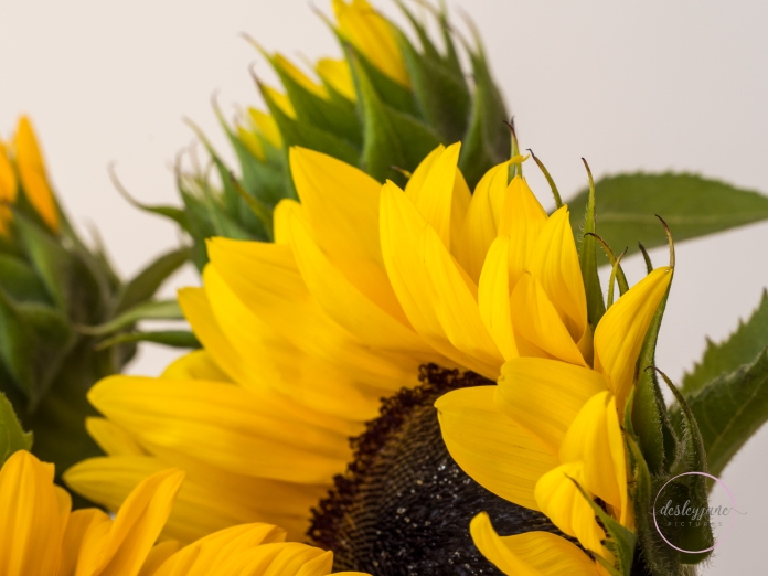 Sunflowers-55