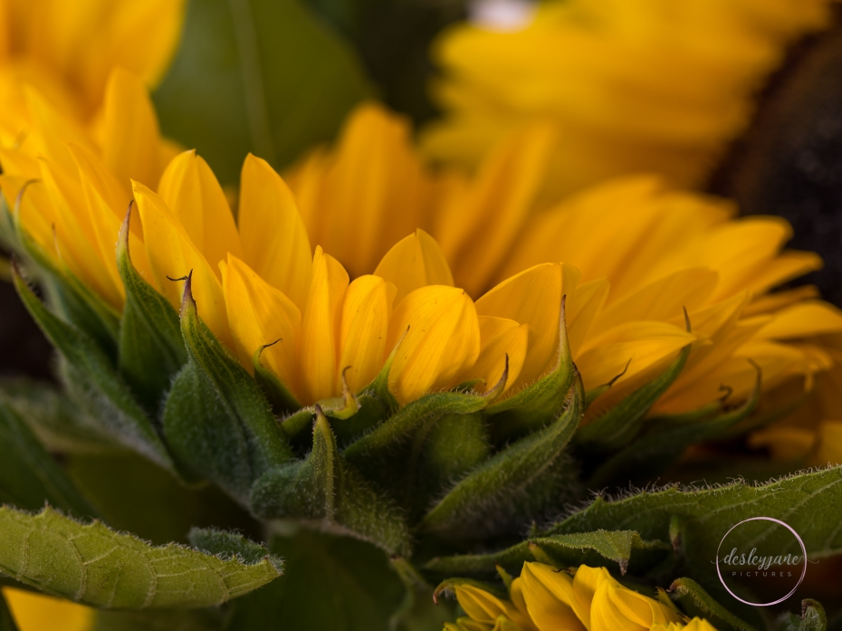 Sunflowers-56