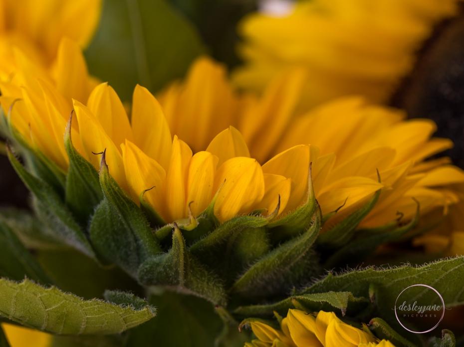 Sunflowers-56