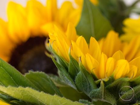 Sunflowers-57