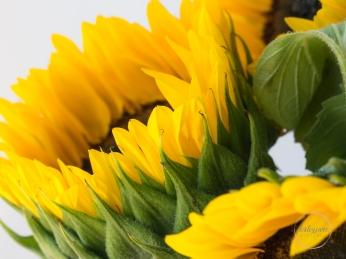 Sunflowers-65