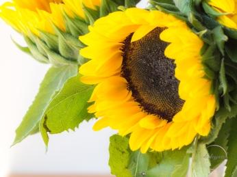 Sunflowers-66