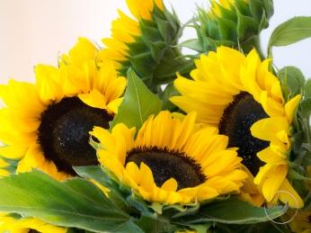 Sunflowers-67