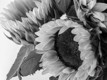 Sunflowers-68