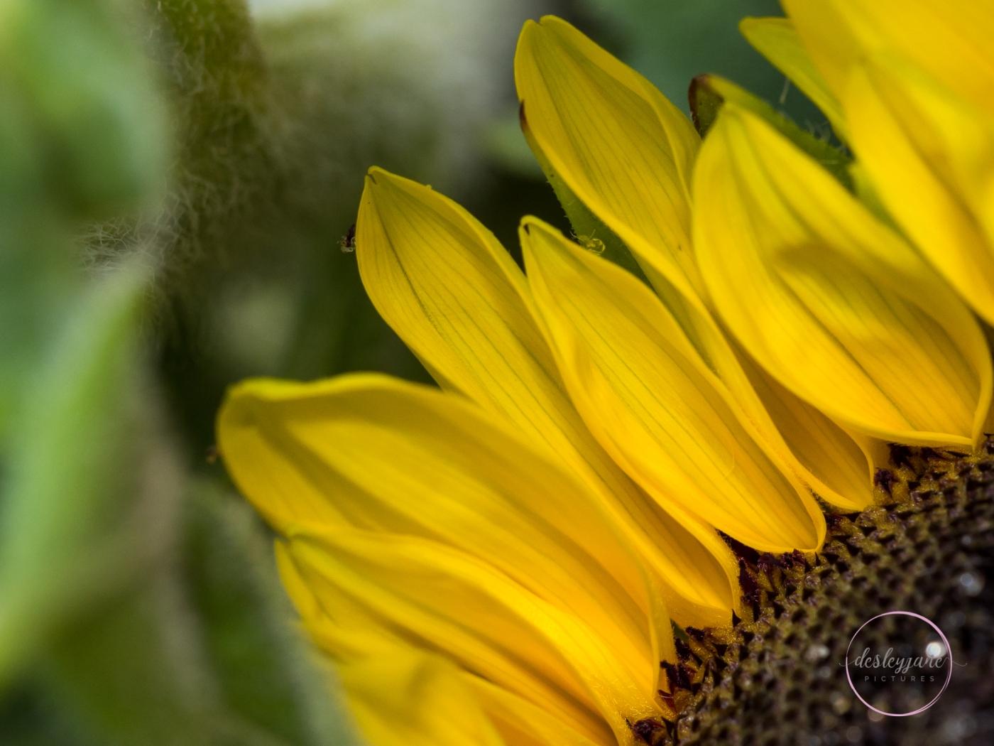 Sunflowers-9