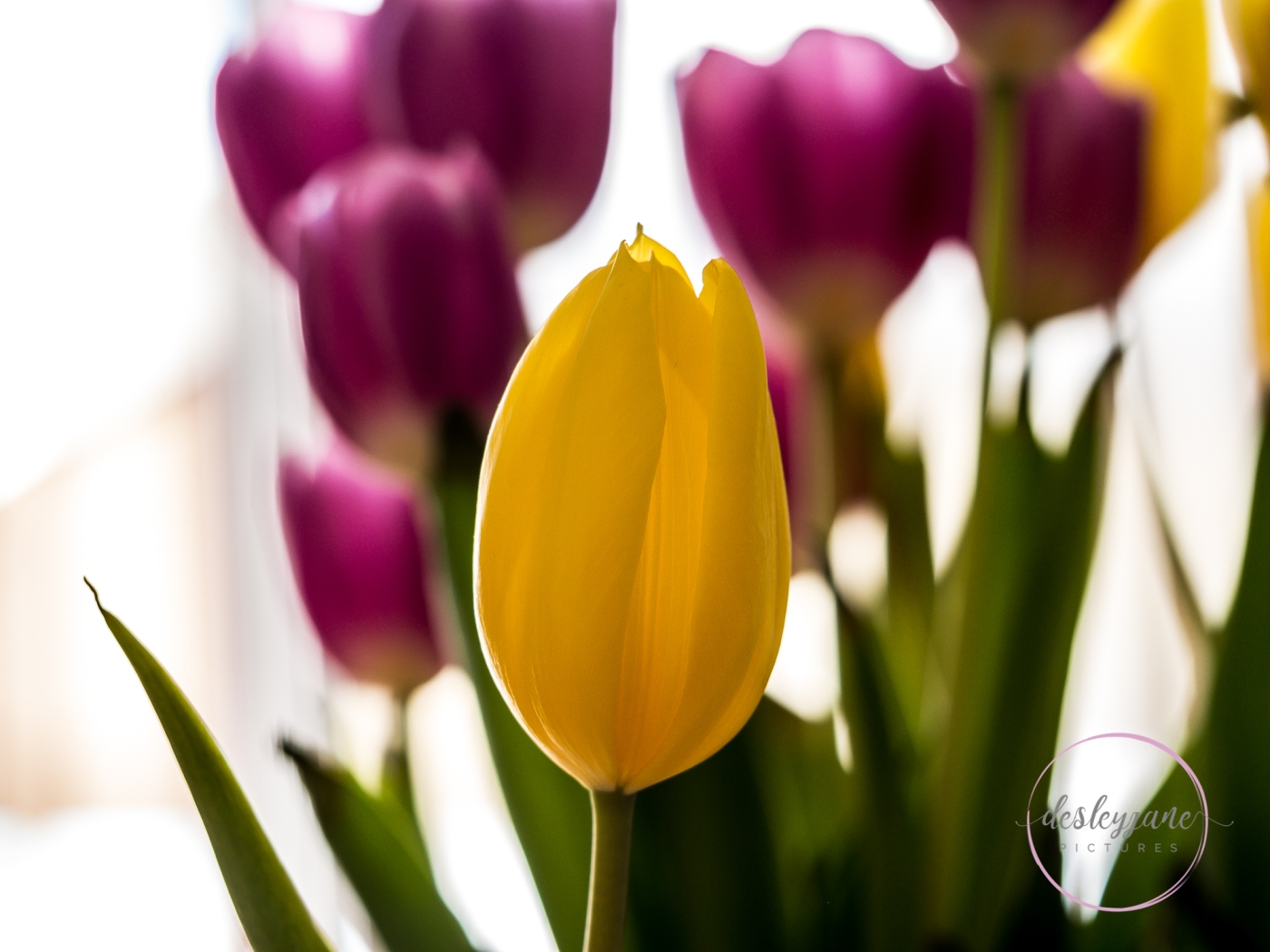 Yellow&PinkTulips-2