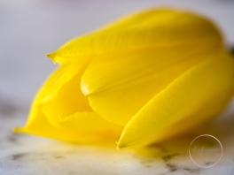 Yellow&PinkTulips-4