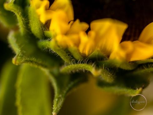 Sunflowers-27