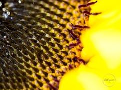 Sunflowers-60