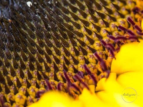 Sunflowers-61