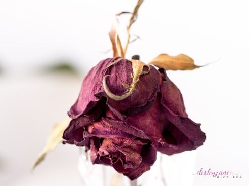 RedRose_BeautyinDecay-2