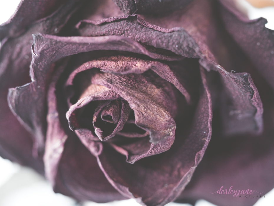 RedRose_BeautyinDecay-3