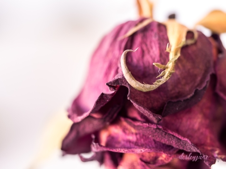RedRose_BeautyinDecay-4