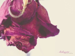 RedRose_BeautyinDecay-5