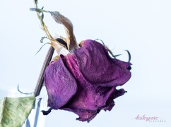 RedRose_BeautyinDecay-7